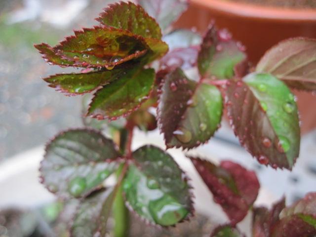 針 薔薇 の くれ の ない やわらか に ふる 尺 二 の 芽 春雨 の たる 伸び